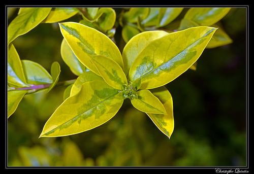 Troène de Californie (Ligustrum ovalifolium)
