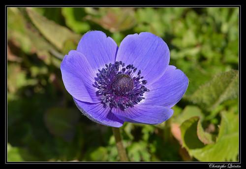 Anémone (Anemone coronaria)