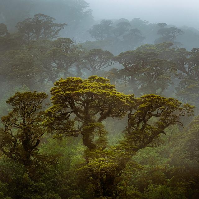 Silver Beech Trees in Mist