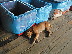 Dog sleeping by the blue plastic-lined bins in the fish warehouse in Pangkor, Malaysia