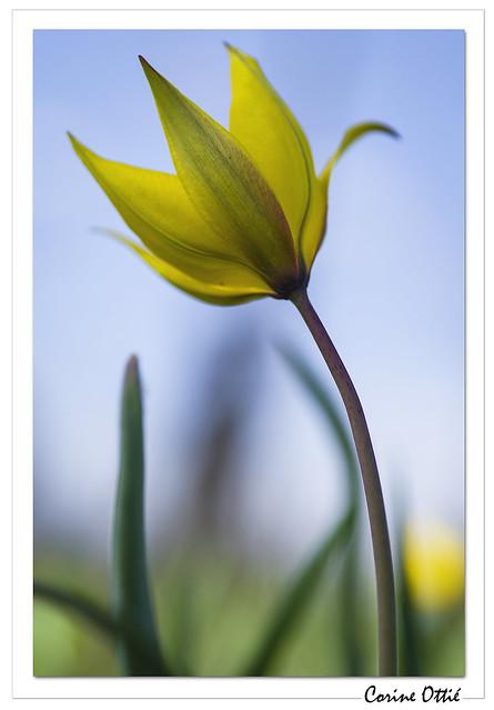La vie en jaune : la tulipe des vignes.