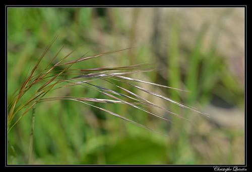 Brome stérile (Bromus sterilis)