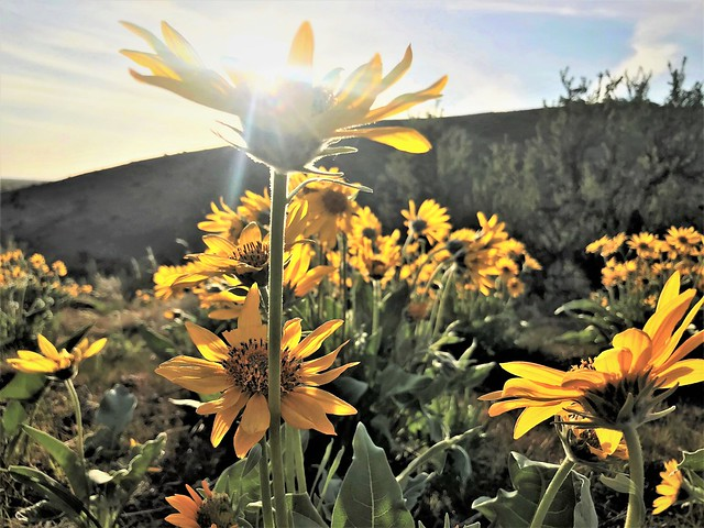Foothill Sunflowers
