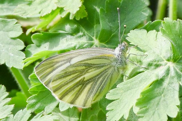 Pieris napi  --  Green-veined White  --  Piéride du navet