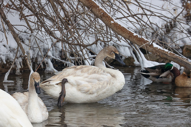 TRumpeter Swan by the snowy bank