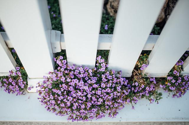 Beautiful purple garden flowers growing through a white fence
