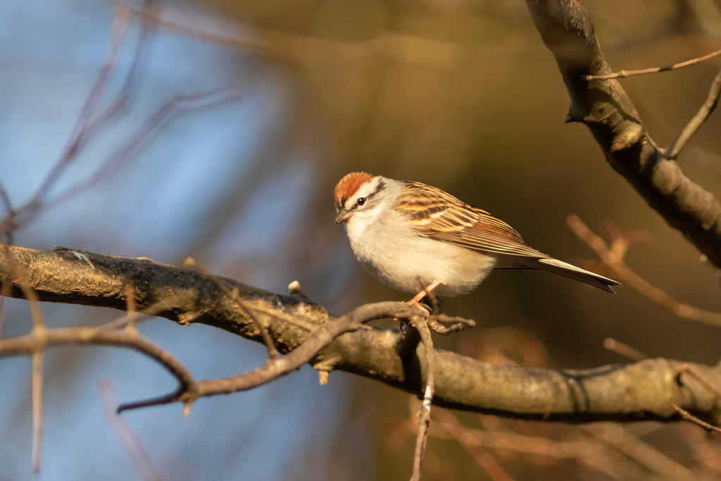 Light on the Chipping Sparrow