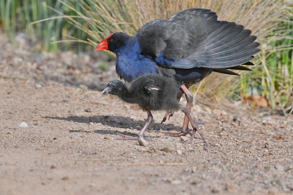 Purple Swamphen and hatchling