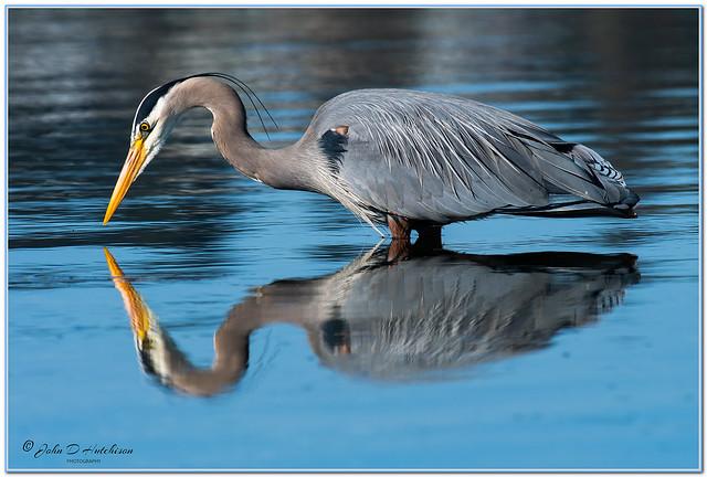 Great-Blue-Heron-Fishing.