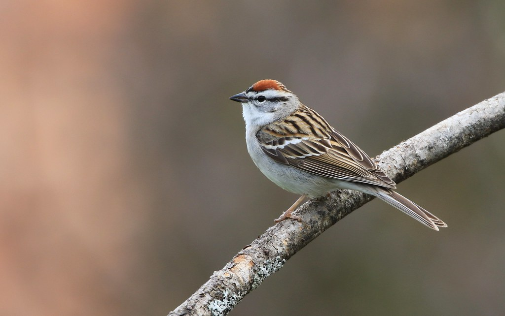 Chipping Sparrow / Bruant familier ( Richard )