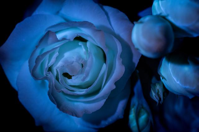 Eustoma in fluorescence