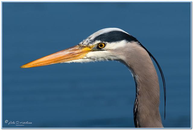 Great-Blue-Heron-Portrait-.