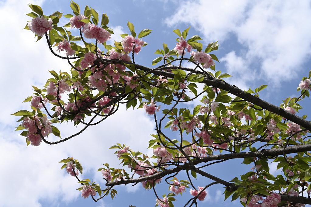 六孫王神社の里桜