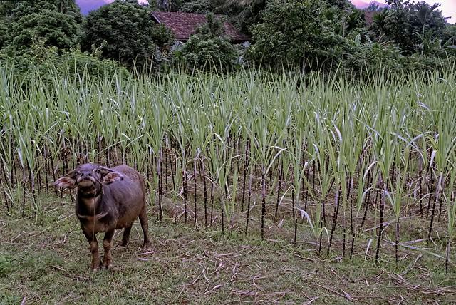 Vietnam - Mai Chau - water buffalo