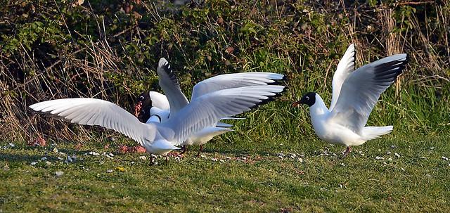 Black headed Gulls Breeding Plumage_0560