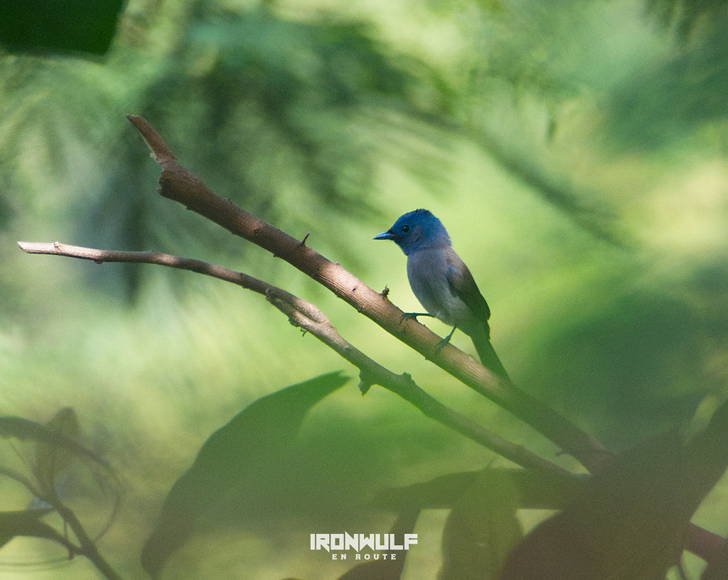 A lifer on the trail, a black-naped monarch