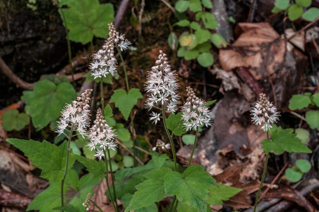 Foamflower