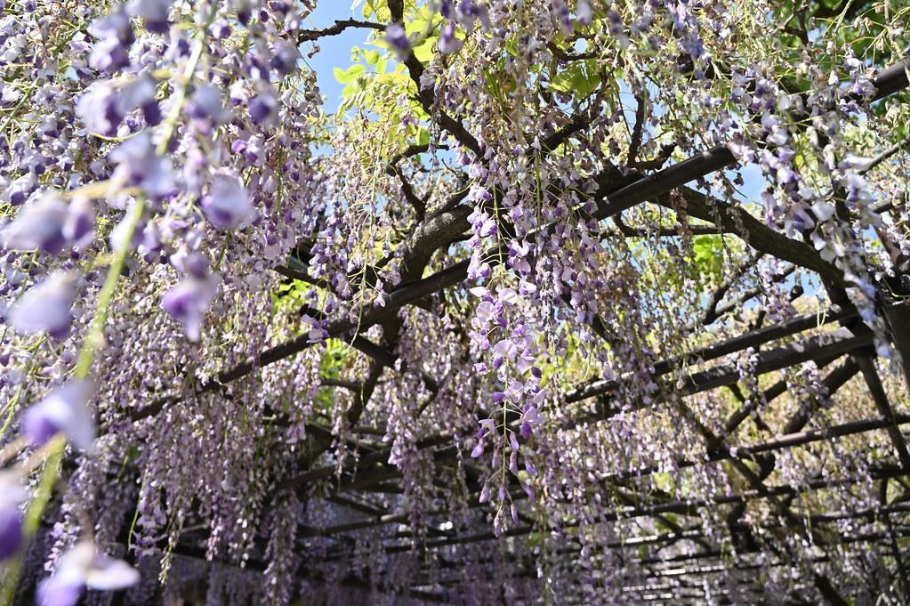 六孫王神社の藤棚