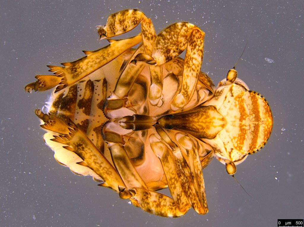 3a - Flatidae sp.