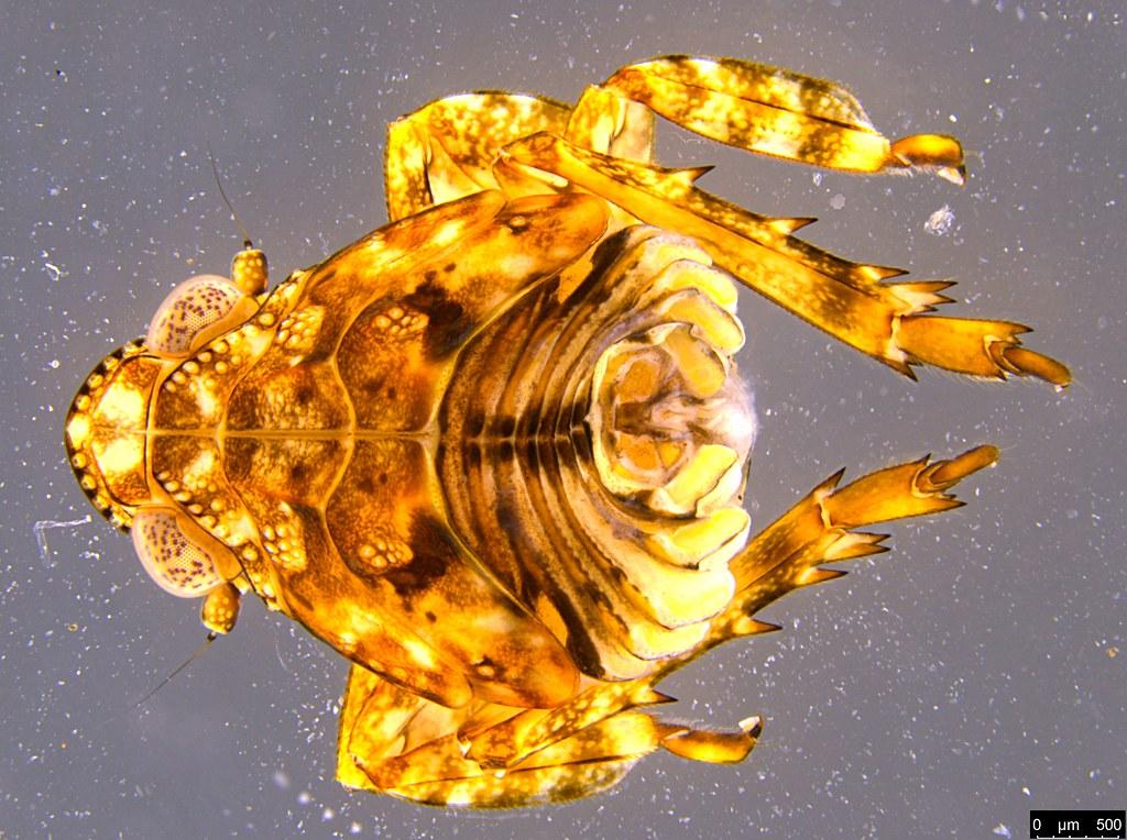 3b - Flatidae sp.