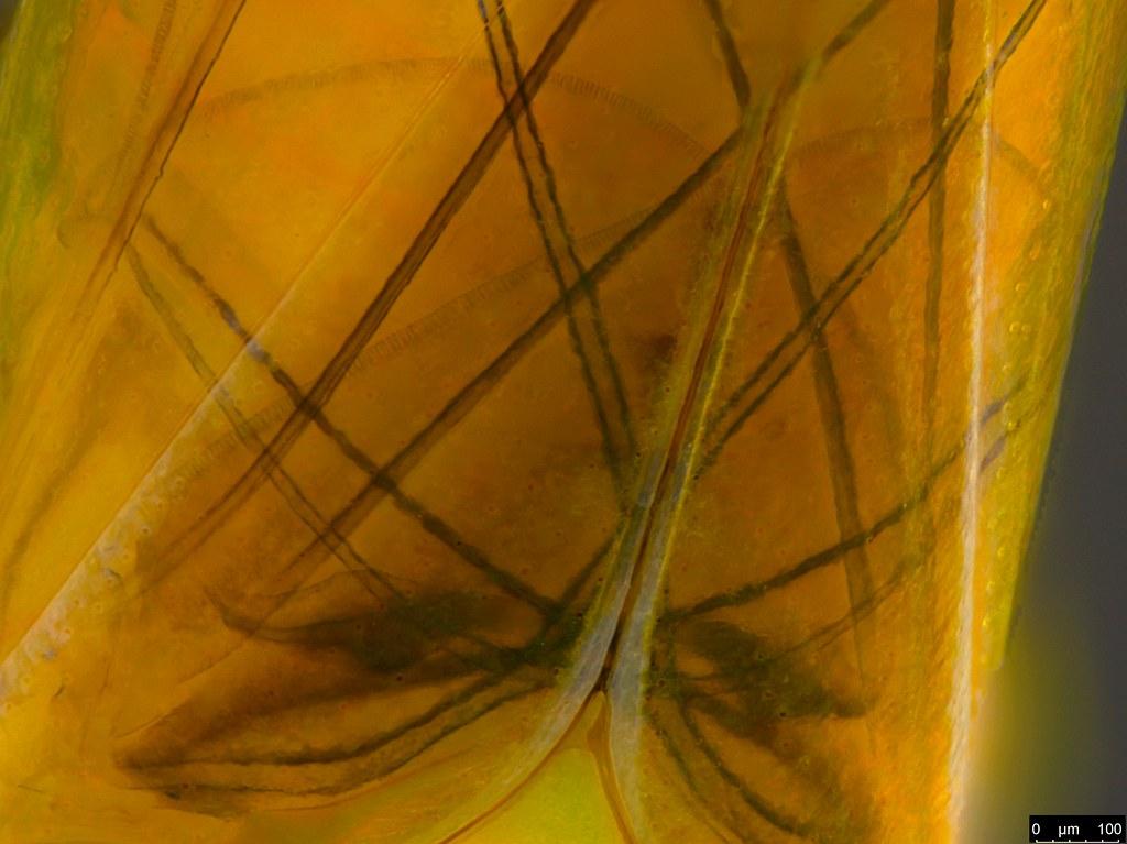 5d - Cicadellidae sp.