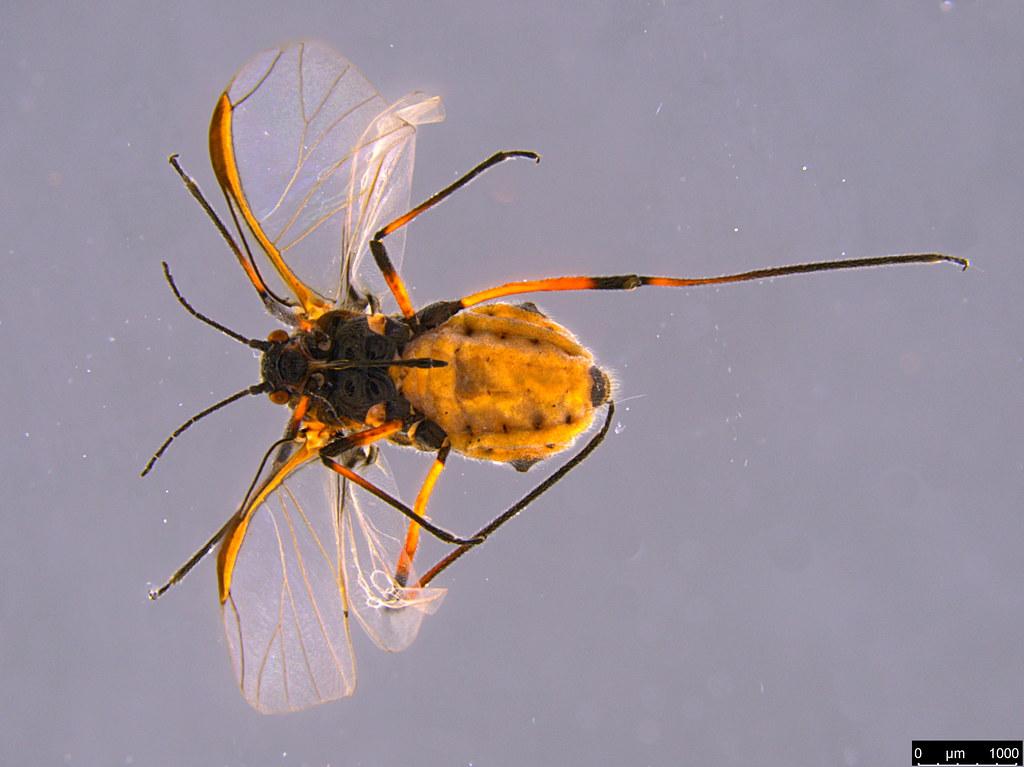 6a - Aphidoidea sp.