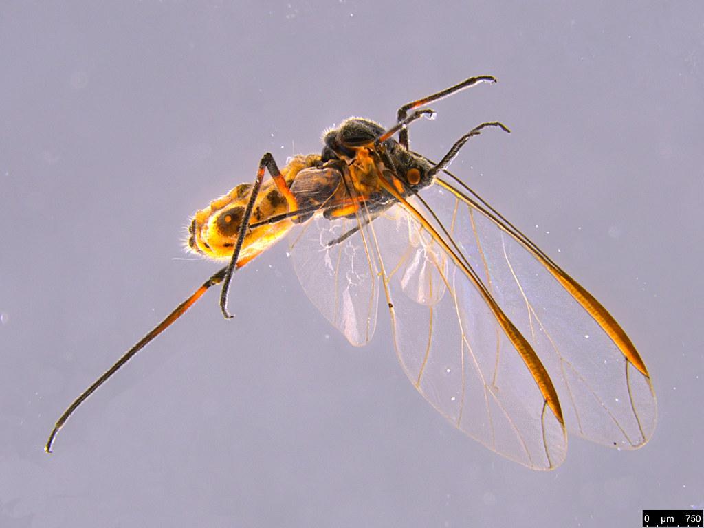 6c - Aphidoidea sp.