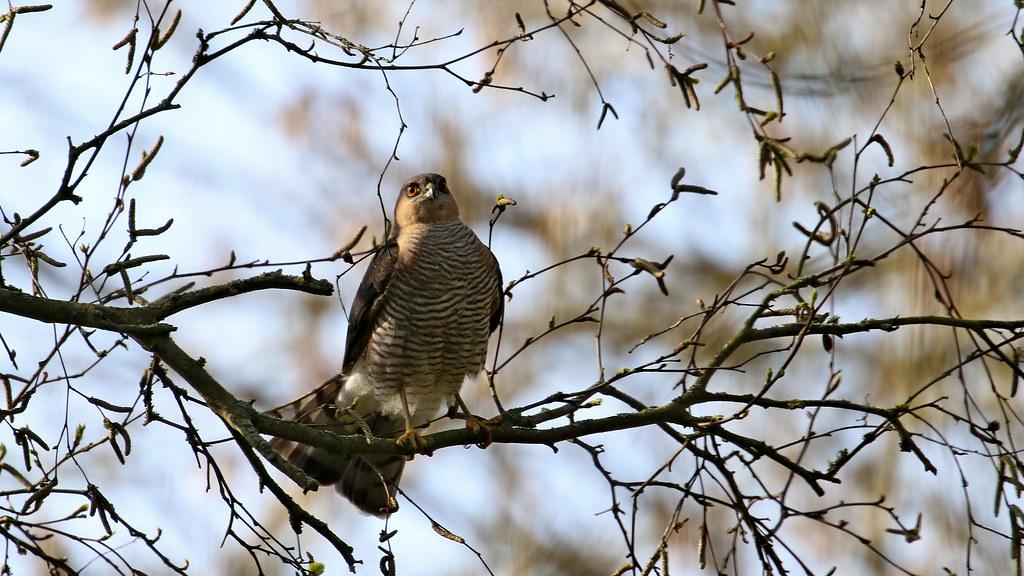 Sparrowhawk - male, 20042021, 06 f