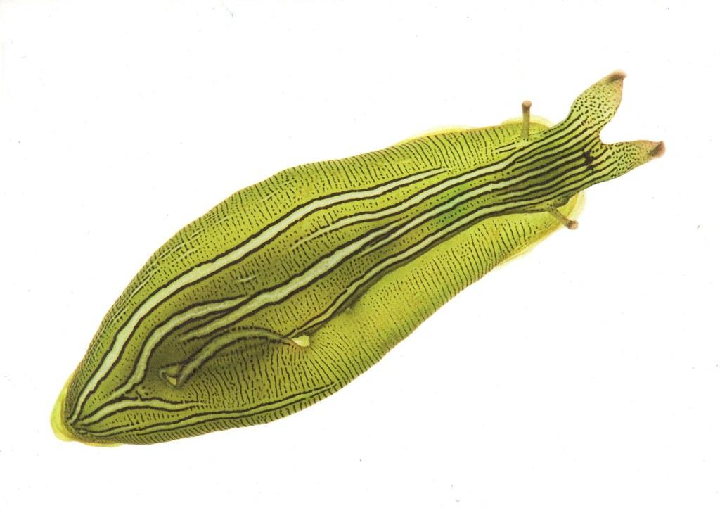 Seegras-Seehase (Phyllaplysia taylori)