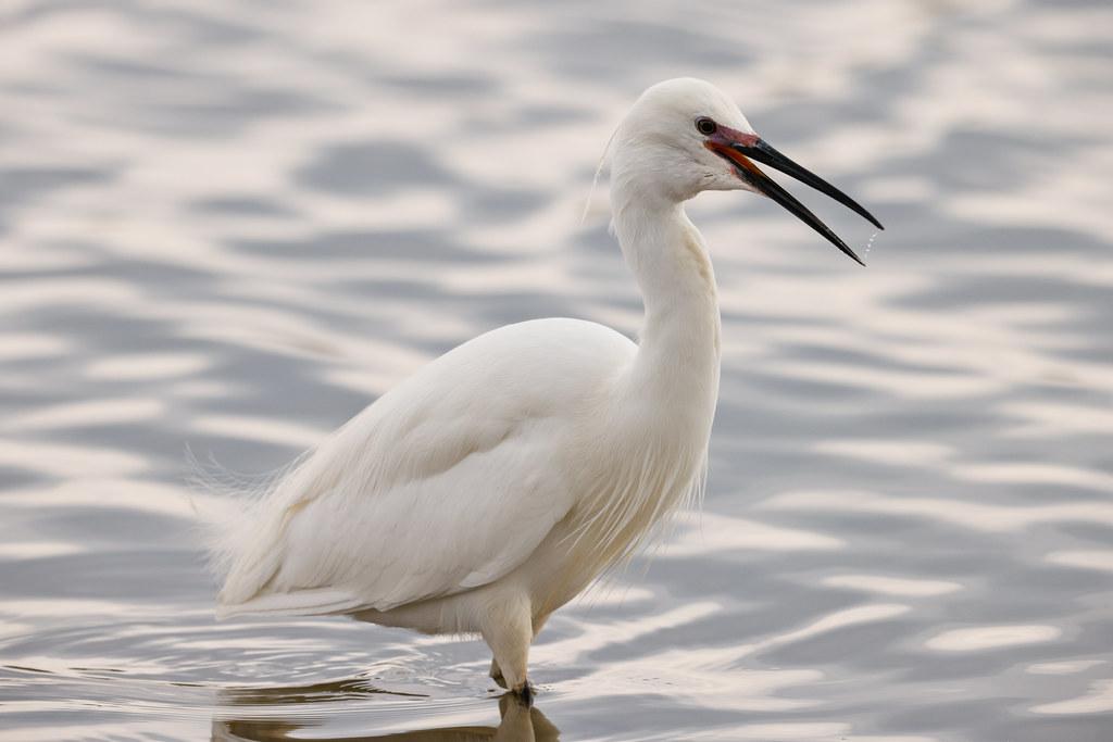 Little Egret, Conder Pool
