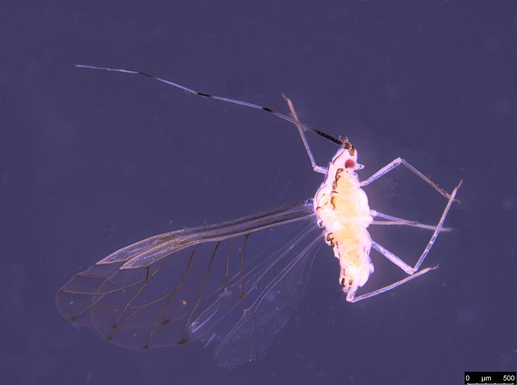 7a - Aphidoidea sp.