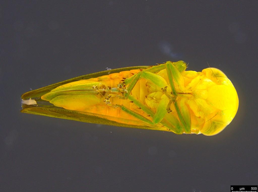 5b - Cicadellidae sp.