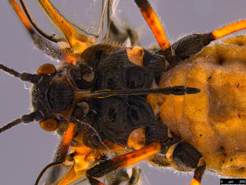6b - Aphidoidea sp.