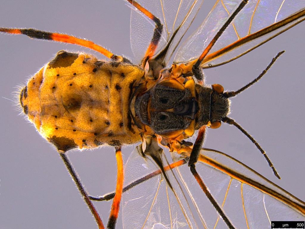 6f - Aphidoidea sp.
