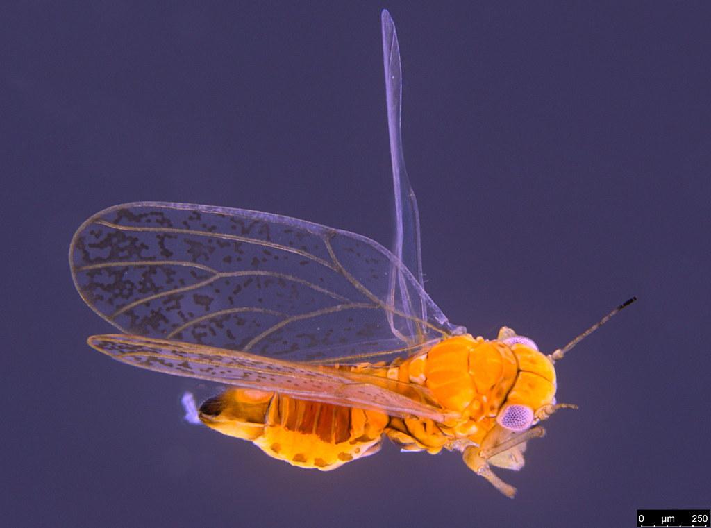 8a - Acizzia sp.