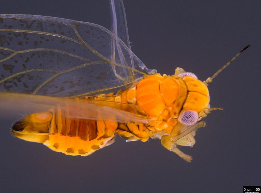 8b - Acizzia sp.