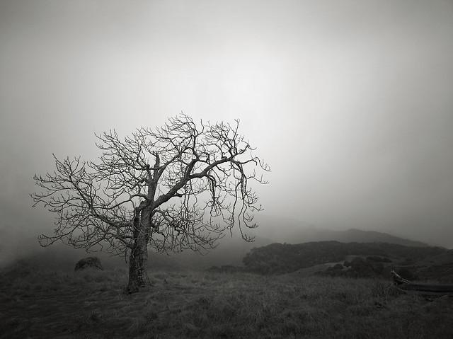 Oak in the Fog near Spanish Town