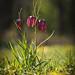 Fritillaria meleagris XI