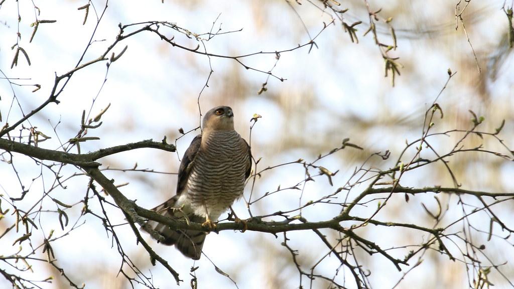 Sparrowhawk - male, 20042021, 05 f