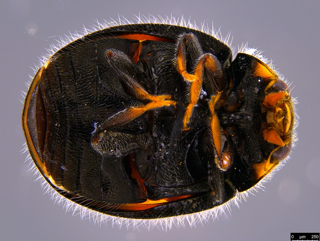 1b - Diomus notescens (Blackburn, 1889)