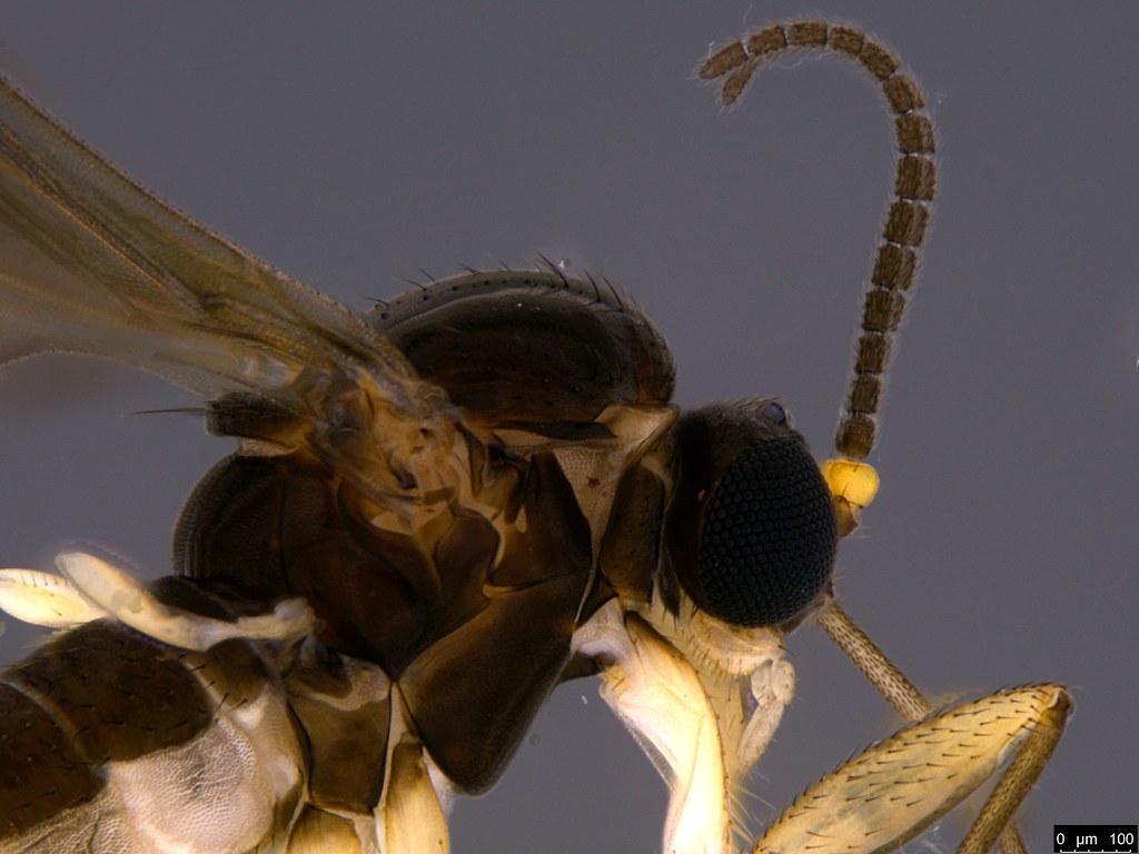 2b - Scaroidea sp.