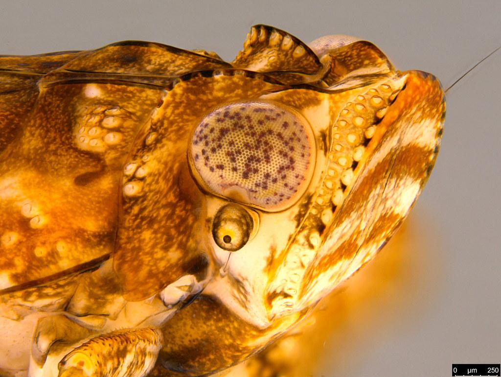 3d - Flatidae sp.