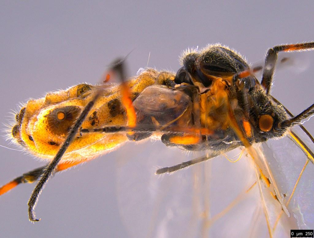 6d - Aphidoidea sp.