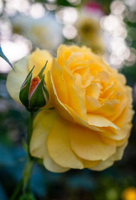 Evening Rose Bokeh