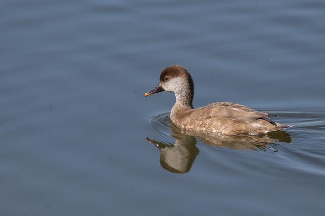 Xibec comu - Pato colorado - Red-crested pochard - Nette rousse - Netta rufina