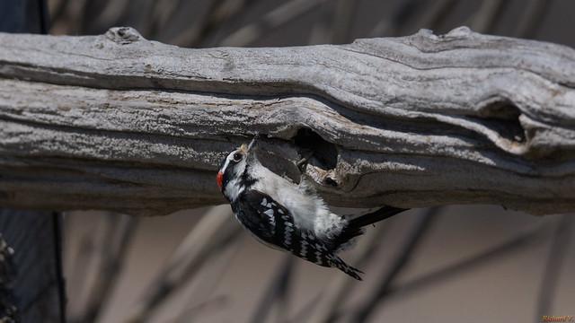 Pic mineur - Downy Woodpecker, Marais-Léon-Provancher, P.Q., Canada - 4294