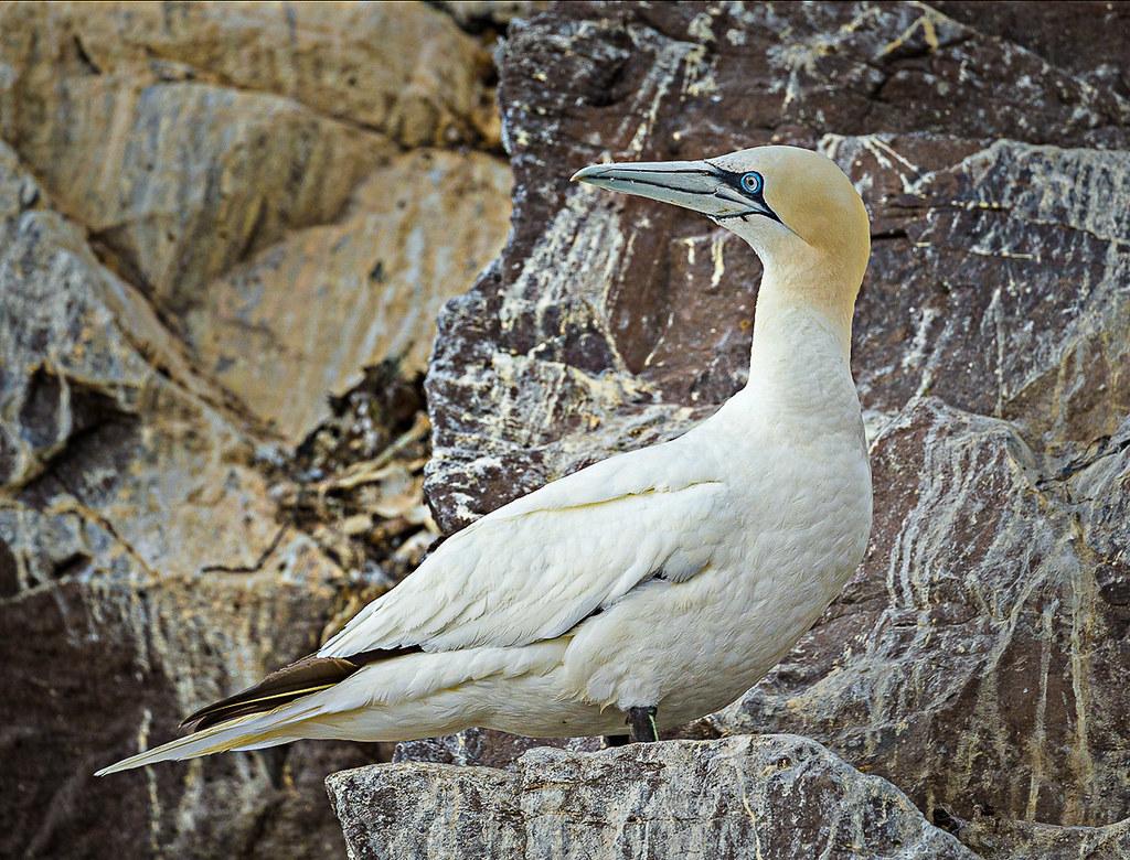 Bass Rock Gannet