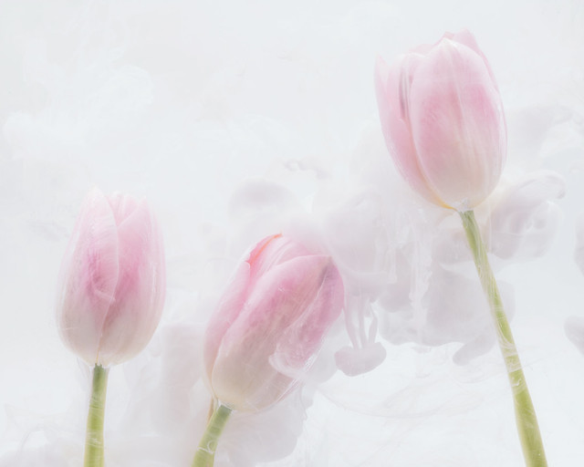 From the Series Submerged: Three Pink Tulips