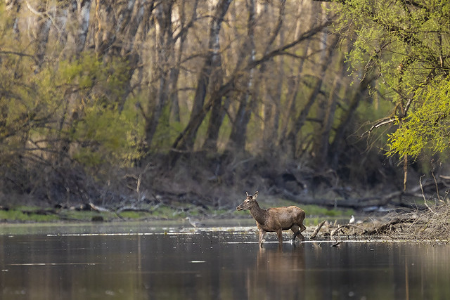 Red deer stag in the oxbow
