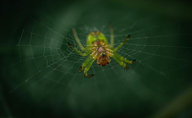 Green crab spider - Diaea dorsata - Grüne Krabbenspinne